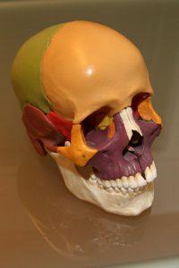 Model van een schedel.